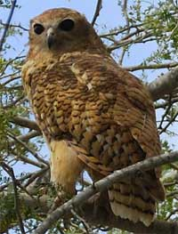 Pel's Fishing Owl - click to read more